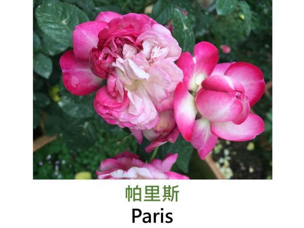 中小輪豐花玫瑰,育出:日本,粉紅色深淺變化,中香