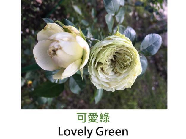 育出:2005法國,白綠色,球狀花,無香