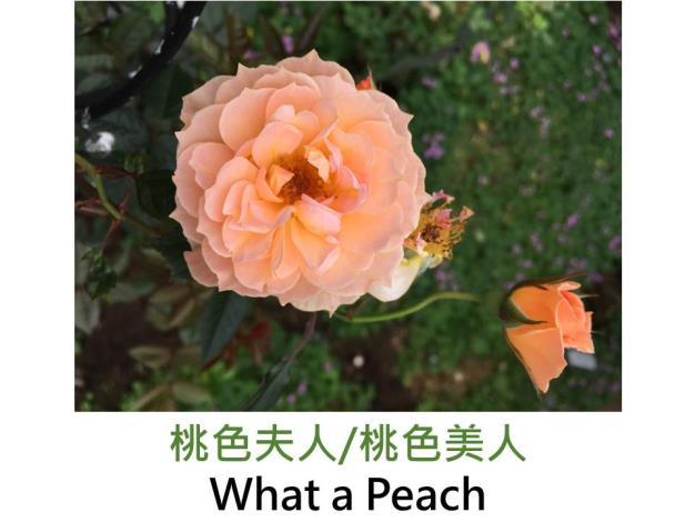 現代灌木玫瑰,育出:2000英國,杏橘色,半劍瓣平開形,強香,灌木橫張