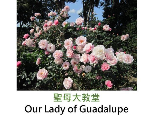中輪豐花玫瑰,育出:2000美國,背深桃紅,面粉紅色,圓瓣平開形,淡香