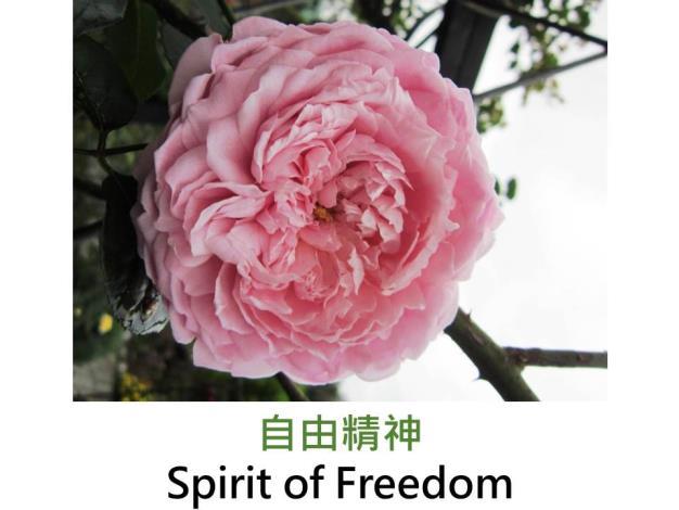 蔓性玫瑰,育出:2005英國,淺粉色,花苞鮮紅色,濃香