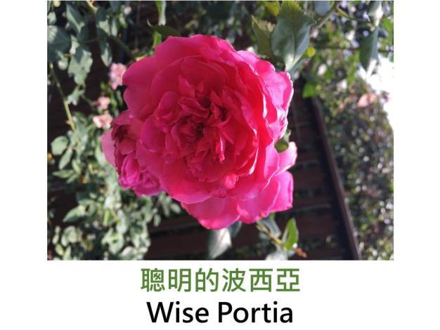 現代英國灌木玫瑰,育出:1982英國,紫紅色,重瓣平開形,古典玫瑰香