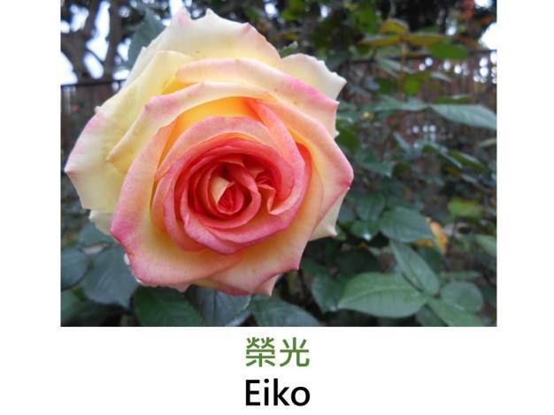 現代雜交茶香玫瑰,育出:1978日本,鵝黃底,桃紅沁邊,重瓣高心杯狀花形,淡香