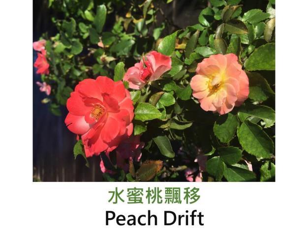 小輪豐花.育出:2006法國.杏桃色.圓瓣杯型.中香