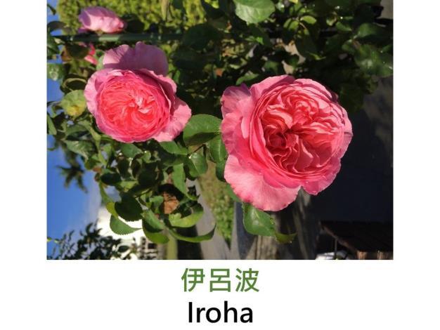 育出:日本.粉紅帶杏色.半球型