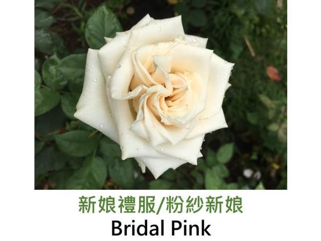 豐花玫瑰,育出:1967美國,粉紅色,劍瓣高心形,濃香