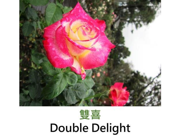 大花矮叢玫瑰,育出:1977美國,乳白色,邊緣及嫩芽洋粉紅,完全重瓣圓形,濃甜香