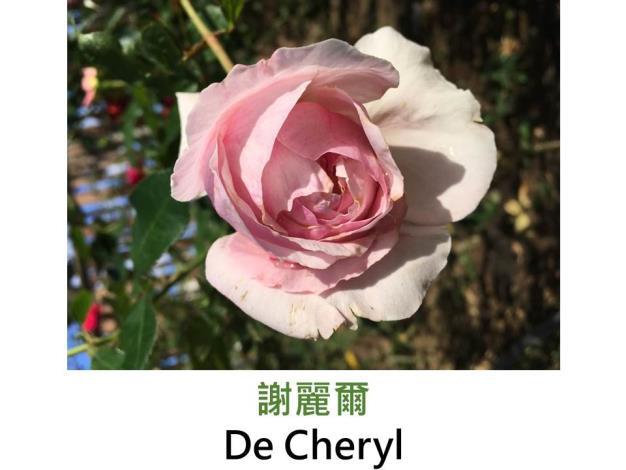 英國玫瑰,粉紫色,圓瓣杯狀古典花形,強香