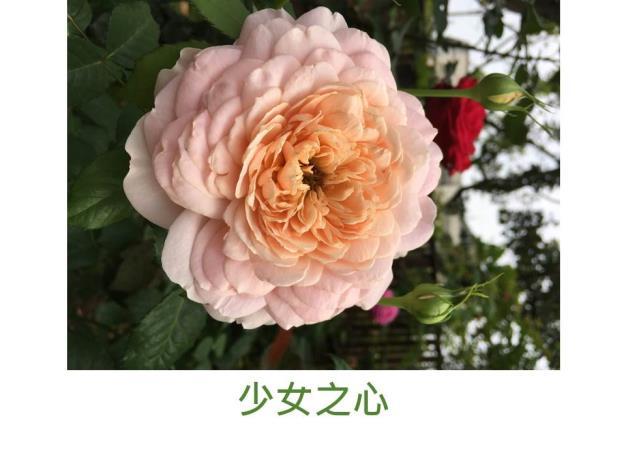 育出:2012中國,杏粉色,重瓣古典杯型(蓮座型紐扣眼),濃香