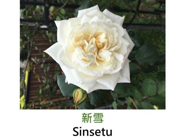 現代大花攀緣玫瑰,育出:1969日本,白粉色,重瓣高心形,微香