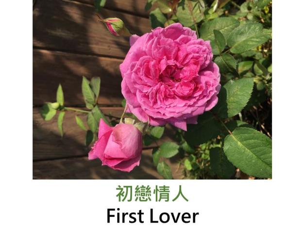 育出:2017台灣,粉紫紅色鈕扣心,中香