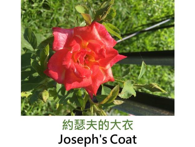 約瑟夫的大衣.JPG