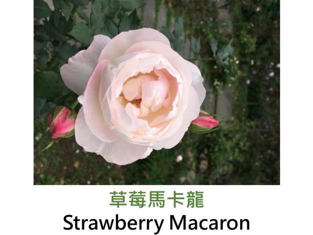 中輪豐花玫瑰,育出:2011日本,桃粉色,外瓣深粉,包子球形,微香