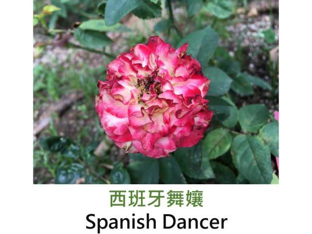 大花矮叢玫瑰.育出:2002法國.白色瓣端粉紅.波浪瓣.微香