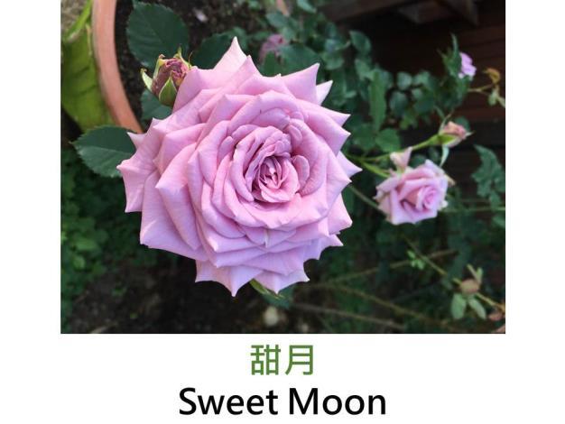 中輪豐花玫瑰,育出:2001日本,丁香紫色,劍瓣高心形,強香