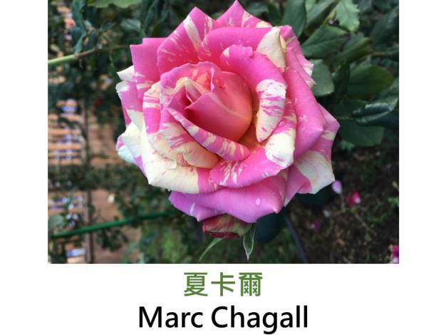 大輪灌木玫瑰,育出:2014法國,粉紅黃色絞紋,微香