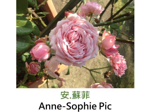 育出:1829法國,粉紅色,球形,中香