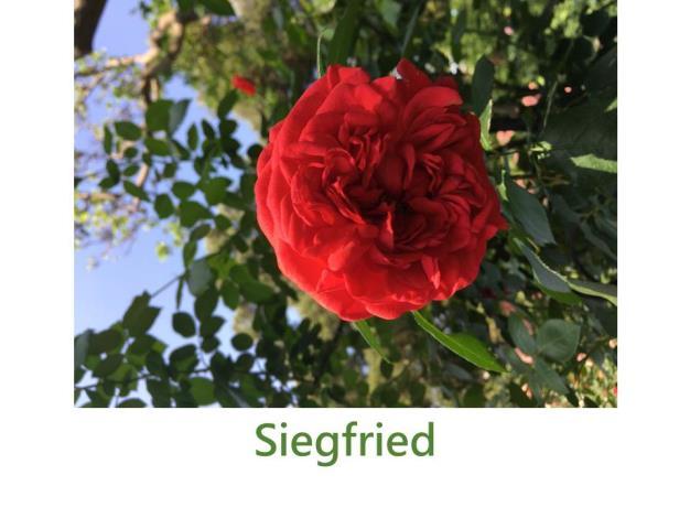 豐花玫瑰,育出:2002德國,紅色,重瓣古典花形,微香