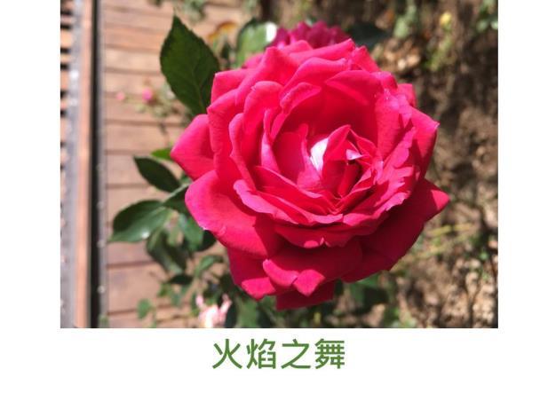 育出:2017台灣(芳香玫瑰園),鮮紅色,微香