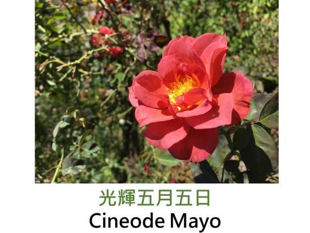 現代豐花矮叢玫瑰,育出 : 2006美國,橘黃,圓瓣波浪形,果香