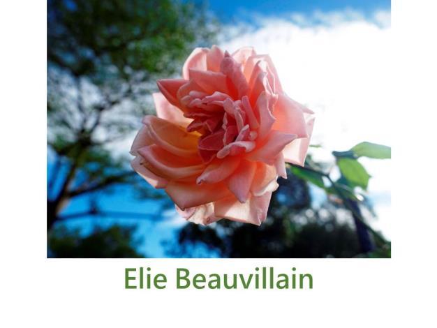 育出:1887法國,淺粉紅