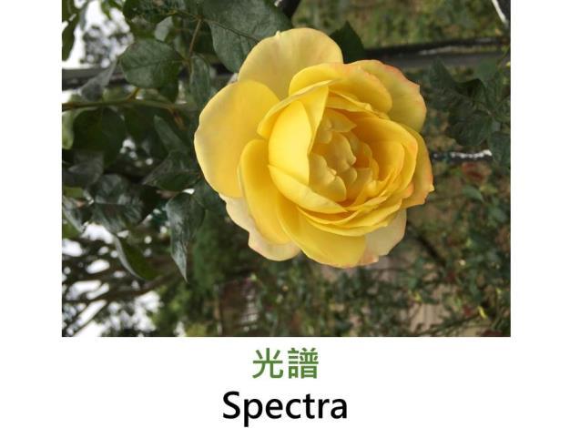 大花蔓藤玫瑰,黃色橘紅色混合,淡香