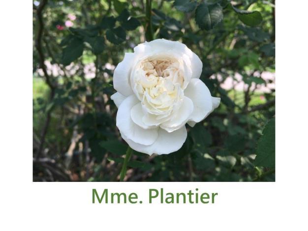 育出:1835法國.奶油白.鈕扣眼平開花型.濃香