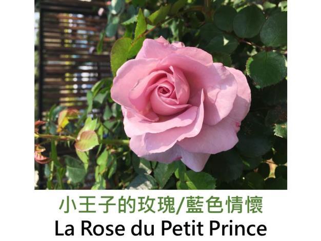 育出:1999法國,淡紫粉紅色,杯狀古典花形,濃香