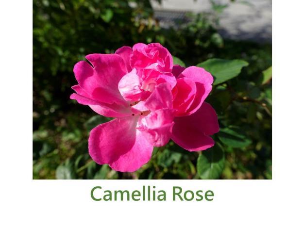 育出:1830前,法國,粉紅色半重瓣,平開形