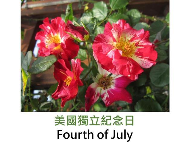 蔓性玫瑰,育出:1999美國,雙色紅白絞紋,果香