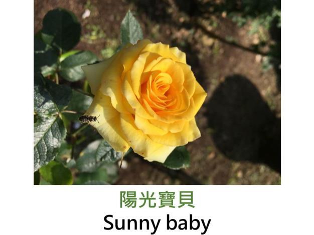 育出:1987德國,深黃色,微香,陽光笑容的芽變種