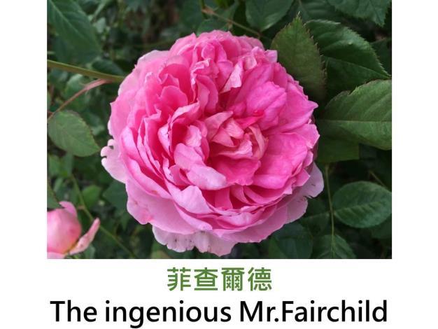 現代英國灌木玫瑰,育出:2004英國,粉紅色,重瓣古典杯形,果香