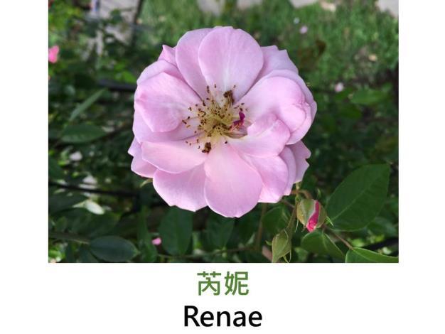 中輪蔓性玫瑰,育出:1954美國,粉紅色,半重瓣平開形,甜香