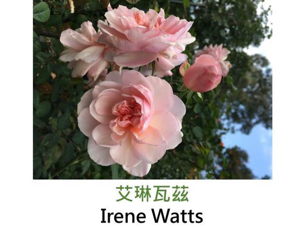 育出:1895法國,粉紅色,重瓣古典杯形,強香,向亞琛致意的芽變種