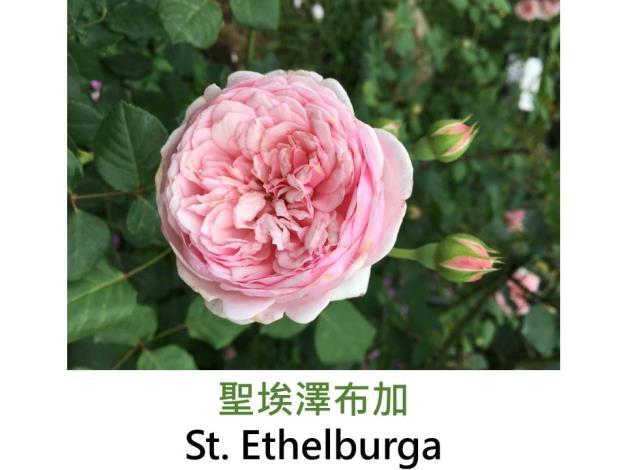 中輪灌木玫瑰,育出:2006英國,淡粉色,濃香
