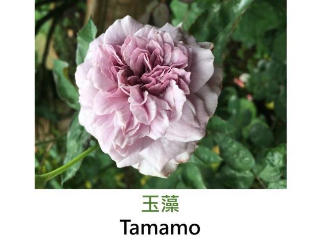 豐花玫瑰,育出:2011日本,淡紫,彩球花形,微香