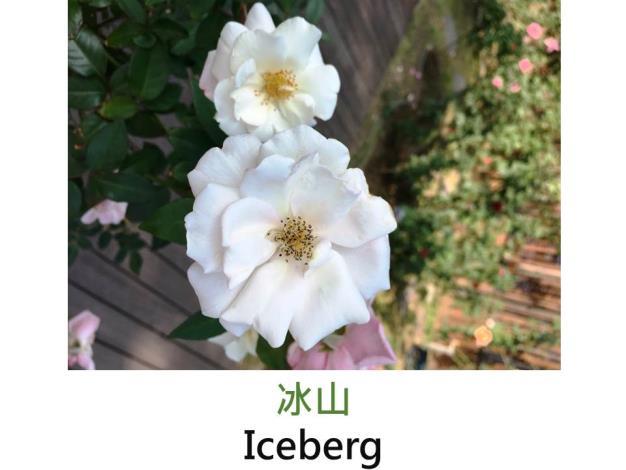 中輪豐花玫瑰,育出:1958德國,白色,圓瓣平開形,微香