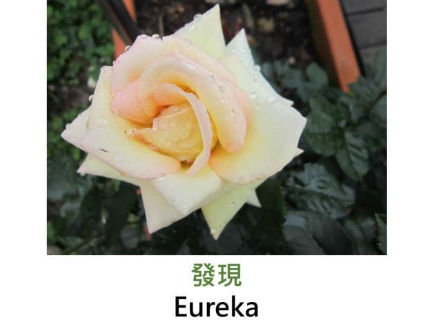 現代豐花矮叢玫瑰,育出:2002德國,杏色,重瓣平開,淡香