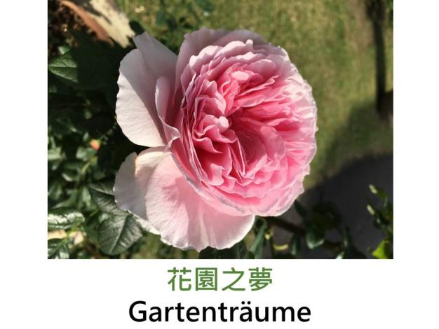 育出:1997德國,淡粉色,甜香