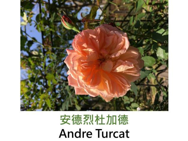 灌木玫瑰,育出:2007法國,杏橙混色,古典杯狀花形,花心鈕扣眼,中香