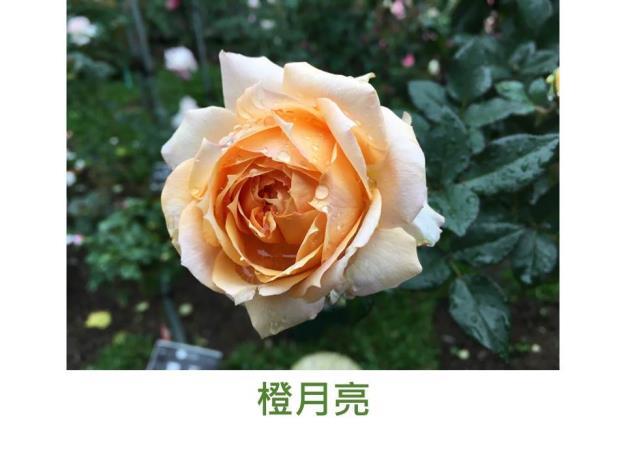 迷你多花玫瑰.育出:日本.橙黃色.辦端黃白.杯型.淡香