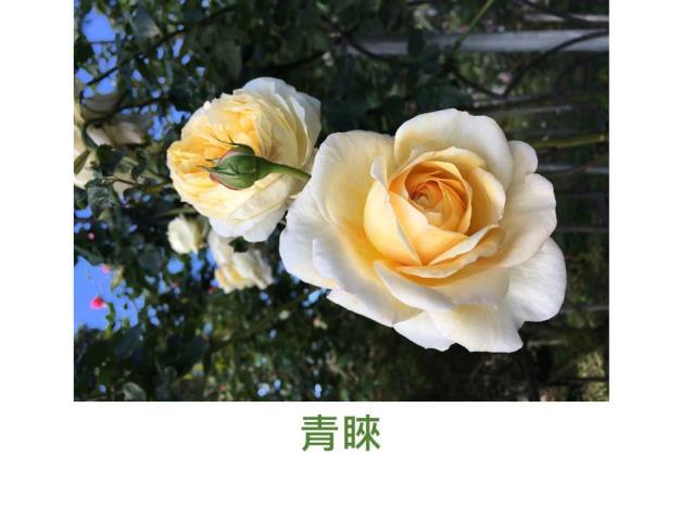 粉紅至黃粉白(冷時粉紅,熱時黃色),簇生花形