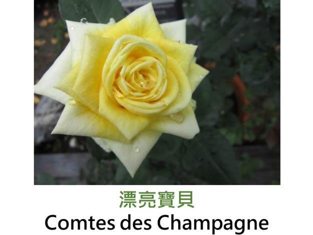 現代雜交茶香玫瑰,育出 : 不詳,黃色,重瓣高心劍瓣杯狀花形