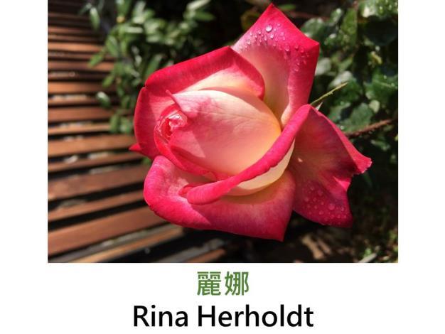 現代雜交茶香玫瑰,育出:1962南非,桃紅覆輪滾邊,劍瓣高心形,濃香