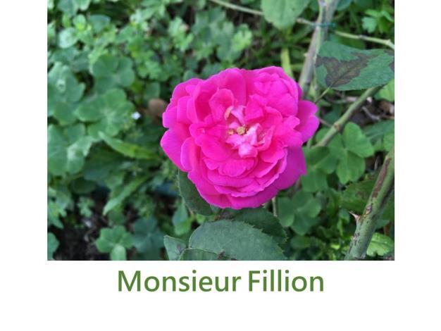 育出:1876法國,粉紅色,中心較深