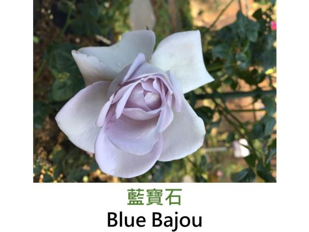 現代豐花矮叢玫瑰,育出:1993德國,淡紫色,圓瓣杯形,微香