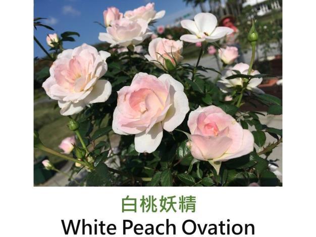 迷你玫瑰.育出:2000荷蘭.白色深粉邊.淡香