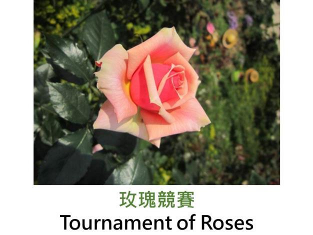 現代大花灌木玫瑰,育出:1988 美國,珊瑚紅色,半劍瓣高心形,微香