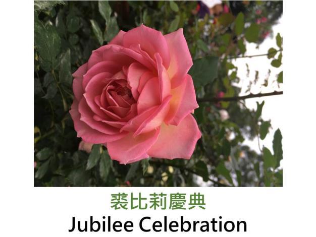 現代英國灌木玫瑰,育出 : 2008英國,鮮粉色,淺黃覆底,重瓣半杯狀花形,果香