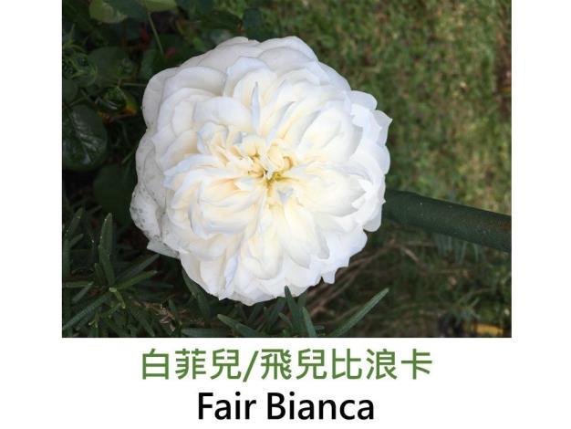 現代英國灌木玫瑰,育出:1982英國,白色,完全重瓣古典簇生平開,沒藥香